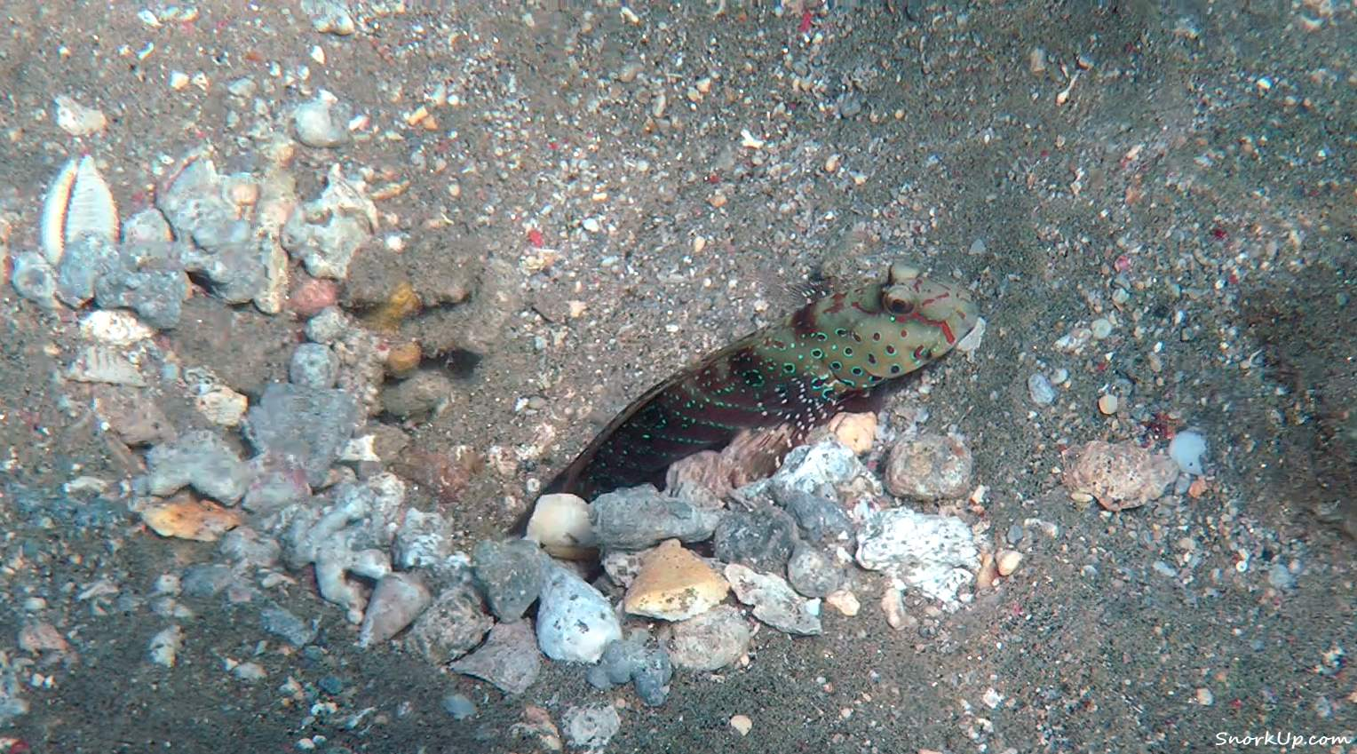 Синепятнистый бычок-компаньон (лат.Cryptocentrus caeruleopunctatus, анг.Harlequin prawn-goby)